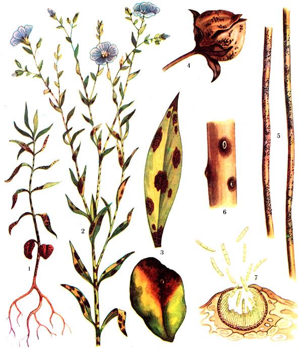 Mycosphaerella linicola Naumov