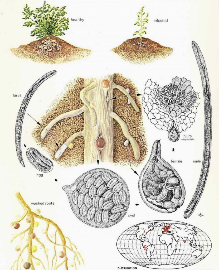 розвиток золотистої картопляної нематоди