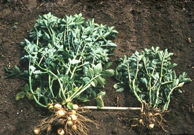 ознаки пошкодження золотистою картопляною нематодою